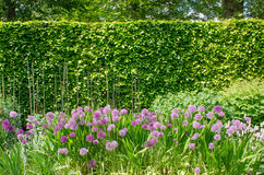 Purple alliums in English Border with Hedge Stock Image
