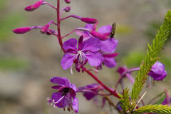 Purple Alpine Fireweed.  Blossoming sally bloom. French willow, sally bloom macro photo in the forest Stock Photos