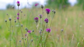 Purple Alpine Fireweed stock video footage