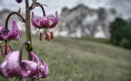 Purple Alpine Wildflower with Mountain Background. An Inverted Alpine Flower Drips with Dew in the Italian Dolomites Royalty Free Stock Images