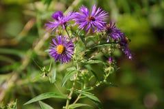Purple Alpinus Flower stock images
