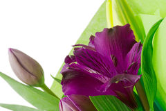 Purple Alstroemeria Flowers royalty free stock images