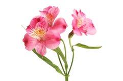 Purple Alstroemeria flowers stock photo
