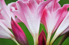 Purple Amaryllis flowers with water drops Royalty Free Stock Images