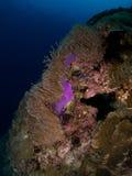 Purple Anemone. Underwater scene with bright purple anemone Stock Images