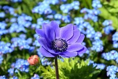 Purple Anemone coronaria in garden, poppy anemone, windflower close-up in garden. Poppy anemone between forget-me-not flowers in garden. Anemone coronaria, the royalty free stock images