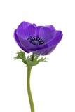 Purple anemone flower. A purple anemone flower isolated on white stock photos