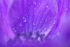 Purple anemone flower Royalty Free Stock Photo