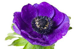 Purple anemone flower Royalty Free Stock Images