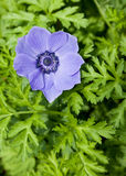 Purple Anemone Flower Royalty Free Stock Photography