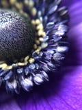 purple Anemone flower from close Stock Photos