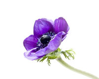 Purple anemone flower Stock Photography