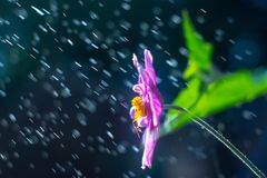 Purple anemone flower in the rain Royalty Free Stock Photo
