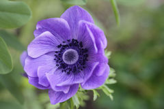 Purple Anemone Flower. Single purple anemone flower in summer time royalty free stock photography