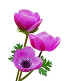 Purple anemone flowers Stock Images