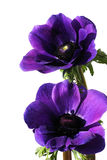 Purple anemone flowers Royalty Free Stock Photography