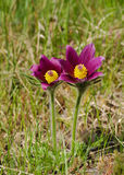 Purple anemone flowers in sping grass Royalty Free Stock Photo
