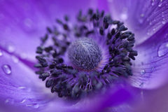 Purple anemone macro Stock Photos