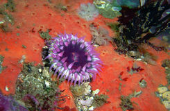 Purple Anemone on a Red Encrusting Sponge. Found off of central California's Channel Islands Stock Photography