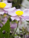 Purple Anemones Royalty Free Stock Photos