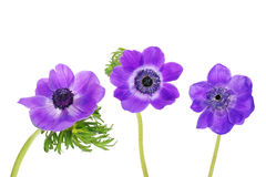 Purple anemones Stock Image