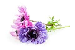 Purple anemones Royalty Free Stock Photo