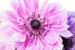 Purple anemones Stock Photography