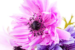 Purple anemones Royalty Free Stock Images