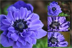 Purple Anenome Royalty Free Stock Photography