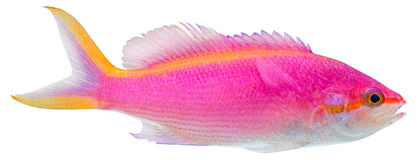 Purple Anthias. Pseudanthias Tuka Royalty Free Stock Photography