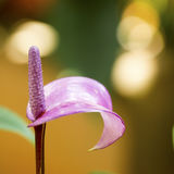 Purple Anthurium Stock Photography
