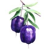 Purple Apple-berry, Billardiera longiflora, Pittosporaceae, watercolor illustration. On white background vector illustration