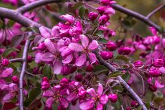 Purple apple blossoms close up. On a blurred background; flowering apple branches in the garden stock photography