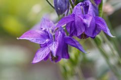 Purple aquilegia columbine flower on a green blurred background. Closeup royalty free stock images
