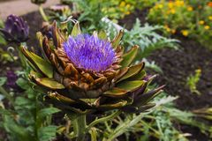 Artichoke flower close-up. Royalty Free Stock Photography