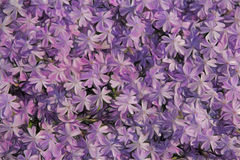 Purple artistic phlox. Designed as a background Royalty Free Stock Image
