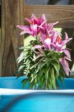 Purple Asiatic lilly in bloom. Purple Asiatic lilly blooms in close up royalty free stock photo