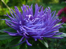 Purple aster Stock Photos