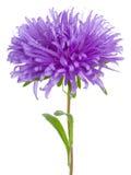 Purple Aster Stock Photo