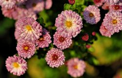 Purple aster. A aster family in purple Royalty Free Stock Photography