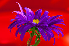 Purple aster Royalty Free Stock Image