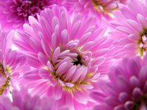Purple aster Royalty Free Stock Images