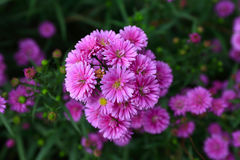 Purple Aster amellus flower. In sunny day stock photography