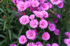 Purple Aster amellus flower Royalty Free Stock Photos