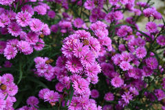Purple Aster amellus flower Royalty Free Stock Photo
