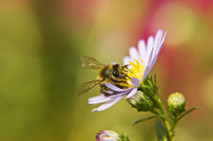 Purple aster and bee Royalty Free Stock Photography