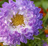 Purple aster Royalty Free Stock Photos