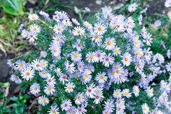 Purple aster bloomed in the garden in the fall. Stock Images