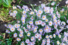 Purple aster bloomed in the garden in the fall. Royalty Free Stock Photo