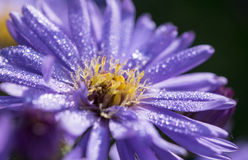 Purple Aster with dew drops Stock Images